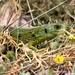 Lacerta trilineata polylepidota - Photo (c) gaertnerneuwirth, some rights reserved (CC BY-NC)