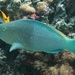 Redlip Parrotfish - Photo (c) Gaell Mainguy, some rights reserved (CC BY-NC-ND)