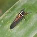 Scieroptera splendidula - Photo (c) Les Day, algunos derechos reservados (CC BY-NC)