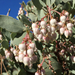 Manzanita de Moras Grandes - Photo (c) Paul G. Johnson, algunos derechos reservados (CC BY-NC-SA)