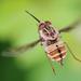 Trichophthalma nubipennis - Photo (c) orlandomontes, osa oikeuksista pidätetään (CC BY-NC)