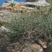 Phagnalon graecum - Photo (c) Felix Riegel, alguns direitos reservados (CC BY-NC)