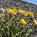 Hulsea algida - Photo (c) Ryan Brown, algunos derechos reservados (CC BY-NC-ND)