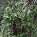 Centropogon brittonianus - Photo (c) josefwirth, algunos derechos reservados (CC BY-NC)
