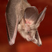 Egyptian Slit-faced Bat - Photo (c) Wynand Uys, some rights reserved (CC BY)