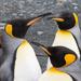 Pingüino Rey - Photo (c) Euan Moore, algunos derechos reservados (CC BY-NC)