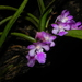 Fox Brush Orchid - Photo (c) S.MORE, some rights reserved (CC BY-NC)