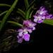 Aerides maculosa - Photo (c) S.MORE,  זכויות יוצרים חלקיות (CC BY-NC)