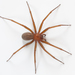 Chilean Recluse - Photo (c) Ariel Cabrera Foix, some rights reserved (CC BY-NC-SA)