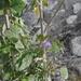 Salvia subaequalis - Photo (c) Martin Reith, algunos derechos reservados (CC BY-NC)