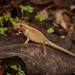 Hispaniolan Hopping Anole - Photo (c) Pedro Genaro Rodriguez, some rights reserved (CC BY-NC)