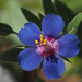 Scarlet Pimpernel - Photo (c) Felix Riegel, some rights reserved (CC BY-NC)