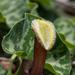 Aristolochia chilensis - Photo (c) Ariel Cabrera Foix, μερικά δικαιώματα διατηρούνται (CC BY-NC-SA)