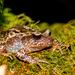 Eupsophus roseus - Photo (c) MatiasG, osa oikeuksista pidätetään (CC BY-NC)