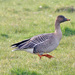 Tundra Bean Goose - Photo (c) Ron Knight, some rights reserved (CC BY)