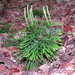 Fan Clubmoss - Photo (c) Charlotte Bill, some rights reserved (CC BY-NC)