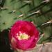 Opuntia woodsii - Photo (c) Mike Jones, algunos derechos reservados (CC BY-NC)
