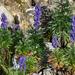 Aconitum napellus - Photo (c) Ina Siebert, alguns direitos reservados (CC BY-NC)