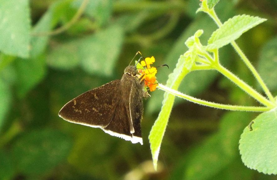 Jalapus Cloudywing - Photo (c) dcslaugh, some rights reserved (CC BY-NC)
