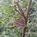 Mycalesis heri - Photo (c) Arun, algunos derechos reservados (CC BY-NC)