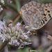 Speyeria callippe - Photo (c) Paul G. Johnson, μερικά δικαιώματα διατηρούνται (CC BY-NC-SA)