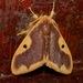 Lymantriinae - Photo (c) Gaell Mainguy, μερικά δικαιώματα διατηρούνται (CC BY-NC-ND)