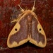 Tussock Moths - Photo (c) Gaell Mainguy, some rights reserved (CC BY-NC-ND)