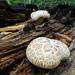 Neolentinus ponderosus - Photo (c) Alan English CPA, algunos derechos reservados (CC BY-NC)