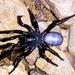 Ummidia timcotai - Photo (c) BJ Stacey, algunos derechos reservados (CC BY-NC)