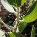 Arctostaphylos glandulosa mollis - Photo (c) Margaret Gallagher, algunos derechos reservados (CC BY-NC)