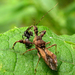 Spiny Assassin Bug - Photo (c) kestrel360, some rights reserved (CC BY-NC-ND)