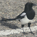 True Magpies - Photo (c) Yifei He 何一非, some rights reserved (CC BY)