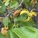 Grewia hexamita - Photo (c) Troos van der Merwe, alguns direitos reservados (CC BY-NC)