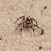 Habronattus georgiensis - Photo (c) Giff Beaton, μερικά δικαιώματα διατηρούνται (CC BY-NC)