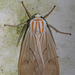 Amastus aconia - Photo (c) Judy Gallagher, algunos derechos reservados (CC BY-NC)
