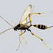 Acroricnus seductor - Photo (c) Katya, some rights reserved (CC BY), uploaded by katunchik