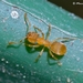 Yellow Meadow Ant - Photo (c) Marcello Consolo, some rights reserved (CC BY-NC-SA)
