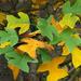 Liriodendron chinense - Photo (c) James Gaither, osa oikeuksista pidätetään (CC BY-NC-ND)