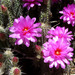 Brandegee's Hedgehog Cactus - Photo (c) Jorge H. Valdez, some rights reserved (CC BY-NC)