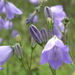 Harebell - Photo (c) waen ♡, some rights reserved (CC BY-NC-ND)