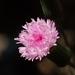 Emilia sonchifolia javanica - Photo (c) 葉子, algunos derechos reservados (CC BY-NC-ND)