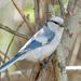 Herrerillo Azul - Photo (c) Sergey Pisarevskiy, algunos derechos reservados (CC BY-NC-SA)