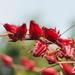 Hibiscus sabdariffa - Photo (c) 葉子,  זכויות יוצרים חלקיות (CC BY-NC-ND)