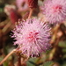 Sensitive Plant - Photo (c) 葉子, some rights reserved (CC BY-NC-ND)