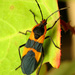 Large Milkweed Bug - Photo (c) Katja Schulz, some rights reserved (CC BY)