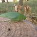 Japanese Broadwinged Katydid - Photo (c) urasimaru, some rights reserved (CC BY-SA)