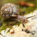 Euomphalia strigella - Photo (c) John, algunos derechos reservados (CC BY-NC)