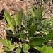 Parinari capensis capensis - Photo (c) Troos van der Merwe, algunos derechos reservados (CC BY-NC)