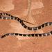 Oxyrhopus clathratus - Photo (c) Douglas Meyer, algunos derechos reservados (CC BY-NC)