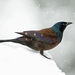 Typical Grackles - Photo (c) Marv Elliott, some rights reserved (CC BY-NC)